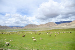 The sheep on the plateau of Tibet Royalty Free Stock Images
