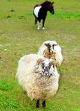 Sheep & ponny Stock Photography