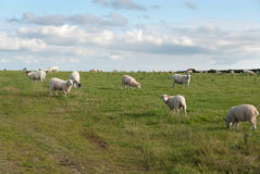 Sheep in Port Isaac Royalty Free Stock Photos