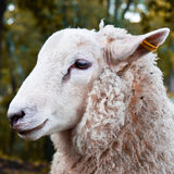Sheep portrait Royalty Free Stock Photo