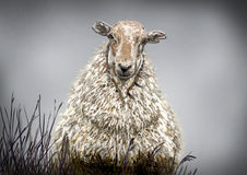 Sheep portrait Stock Images