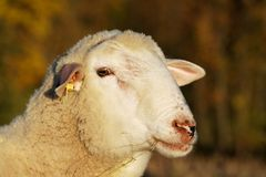 Sheep Portrait Royalty Free Stock Photography