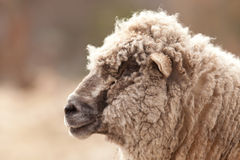 Sheep portrait Stock Photography