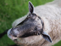 Sheep portrait. A portrait of a sheep looking up Royalty Free Stock Image