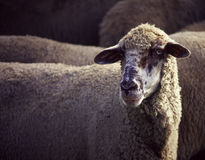 Sheep portrait Stock Photos