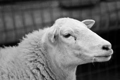 Sheep portrait. A beautiful wool sheep head profile portrait with cute expression in the face looking straight and watching. Image in black and white Stock Photo