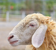Sheep portrait Stock Image