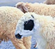 Sheep portrait. Sheep life in the sheep farm royalty free stock photo