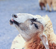 Sheep portrait Royalty Free Stock Photo