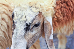 Sheep portrait Stock Photography