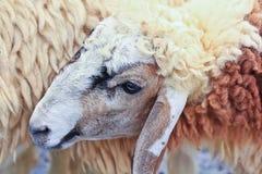 Sheep portrait. Sheep life in the sheep farm stock photos