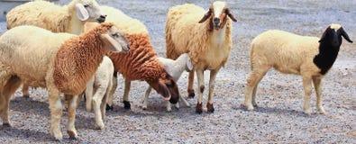 Sheep portrait Stock Images