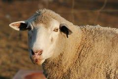 Sheep Portrait. Marino ewe sheep looking at the camera royalty free stock photos