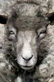 Sheep portrait. From the front, limited dof Royalty Free Stock Photography