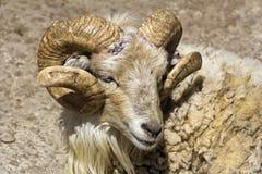 He-sheep Stock Photo