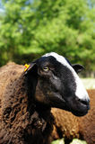 Sheep portrait Royalty Free Stock Image