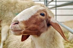 Portrait of Awassi sheep Stock Photography
