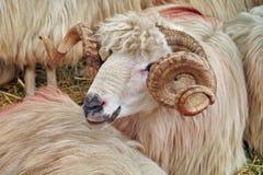 Portrait of Turcana Sheep Stock Image