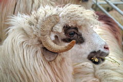 Portrait of Turcana Sheep Royalty Free Stock Photo