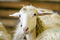 Sheep portrait Stock Photos