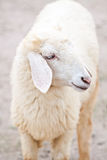 Sheep portrait on a field Stock Photography