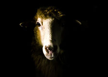 Sheep portrait. Stock Images