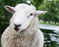 Sheep portrait with a lake in background Royalty Free Stock Photos