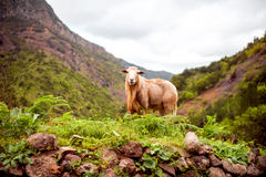 Sheep portrait on the mountains Royalty Free Stock Images