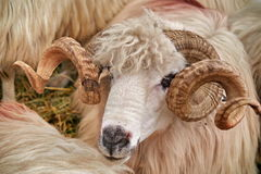 Portrait of Turcana Sheep Royalty Free Stock Images