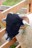 Sheep portrait in show pen Stock Images