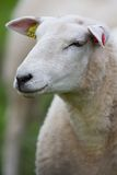 Sheep portrait Royalty Free Stock Photos