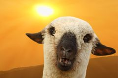 Sheep portrait at sunset Royalty Free Stock Photo