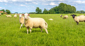 Sheep posing fot the photographer Royalty Free Stock Photos