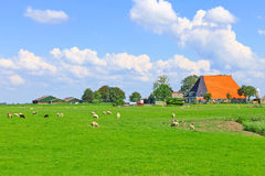 Sheep and poultry grazing in a meadow Stock Images