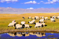 Sheep on the prairie BAYINBULAKE Stock Image