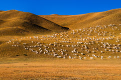 Sheep on the prairie BAYINBULAKE Royalty Free Stock Photo