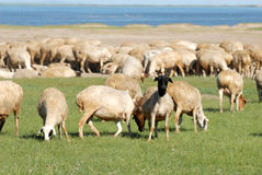 Sheep on the prairie Stock Photos