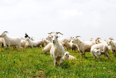 Sheep on the prairie Stock Image