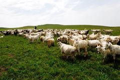 Sheep on the prairie Stock Photography