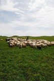Sheep on the prairie Royalty Free Stock Photos