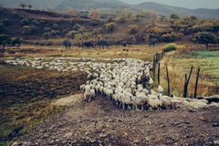 The sheep neat queue. Here is the Inner Mongolia grassland China Ulan integration. That day I was collecting folk songs on the road, suddenly saw a flock of Royalty Free Stock Photography