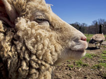 Sheep Profile. A close-up profile of a farm sheep in spring with overgrown wool that looks ready to be sheared Royalty Free Stock Photography
