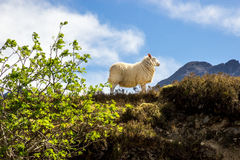 Sheep in profile with mountains. Stock Photos