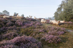 Sheep on purple blooming heather. In the Netherlands Royalty Free Stock Photography