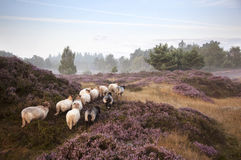 Sheep on purple blooming heather Stock Photography