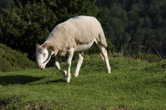 Sheep in Pyrenees Royalty Free Stock Photo