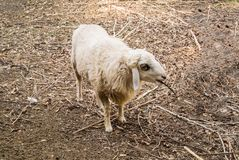 The sheep is a quadrupedal, ruminant mammals. The sheep is a quadrupedal, ruminant mammal typically kept as livestock. An adult female sheep is referred to as an stock images