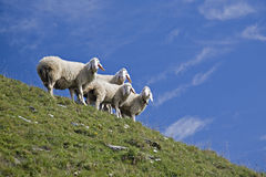 Sheep Quartet Stock Photography