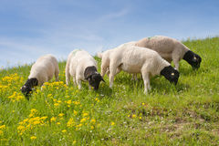 Sheep quartet grazing Royalty Free Stock Photos