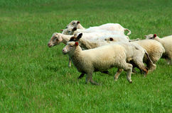 Sheep race Stock Photo
